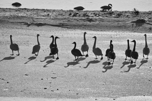 no.black.swan…